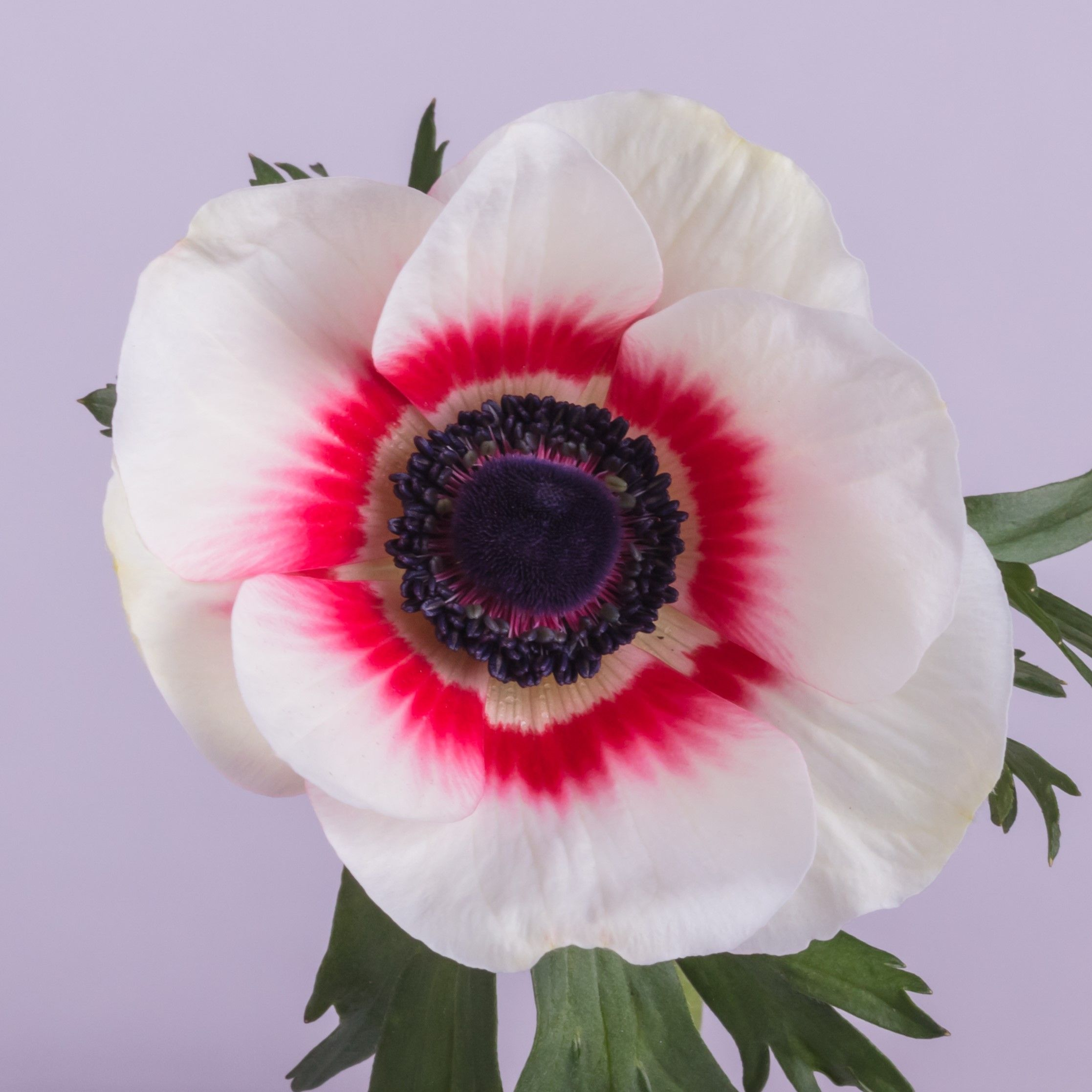 Anemone Bicolor Red