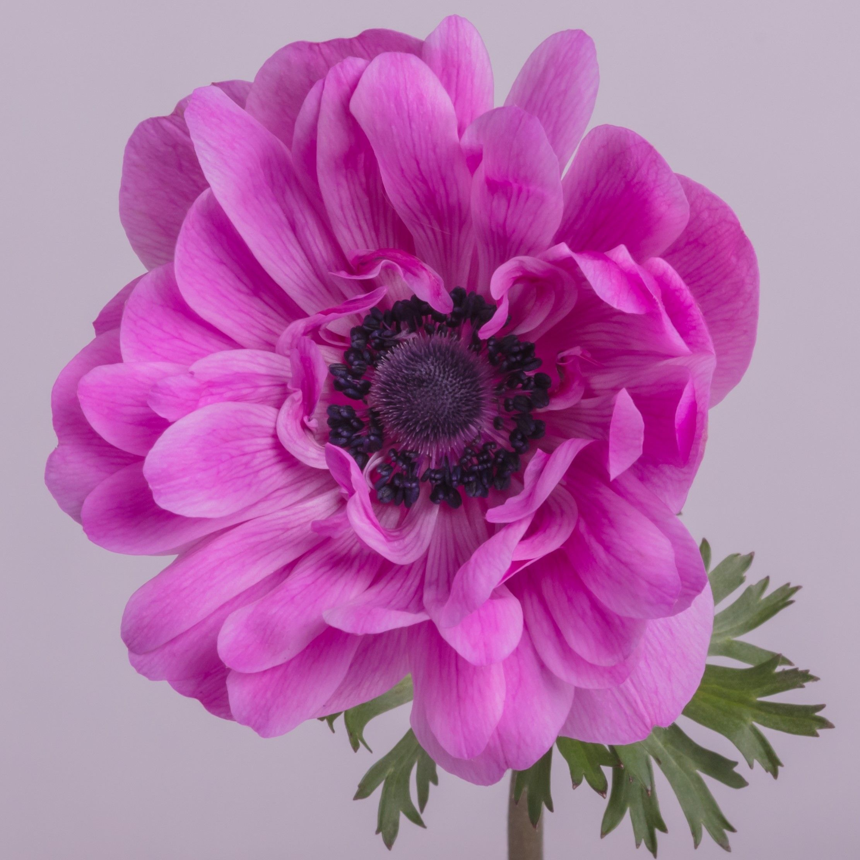 Anemone Full Star Hot Pink