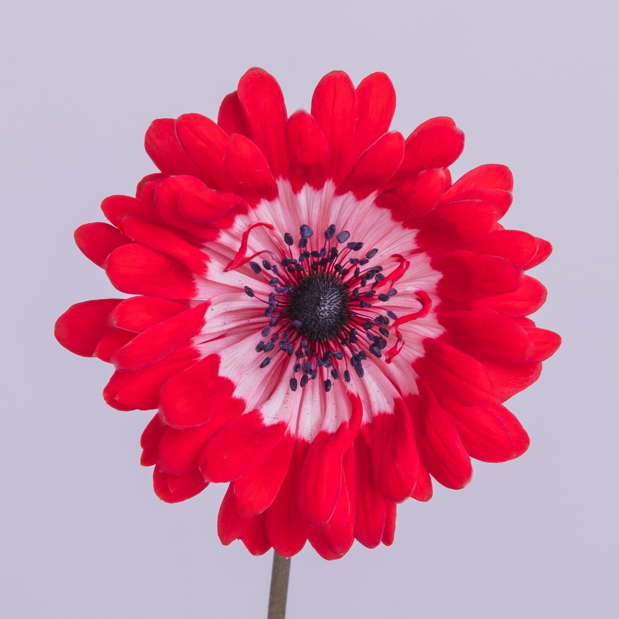 Anemone Full Star Red