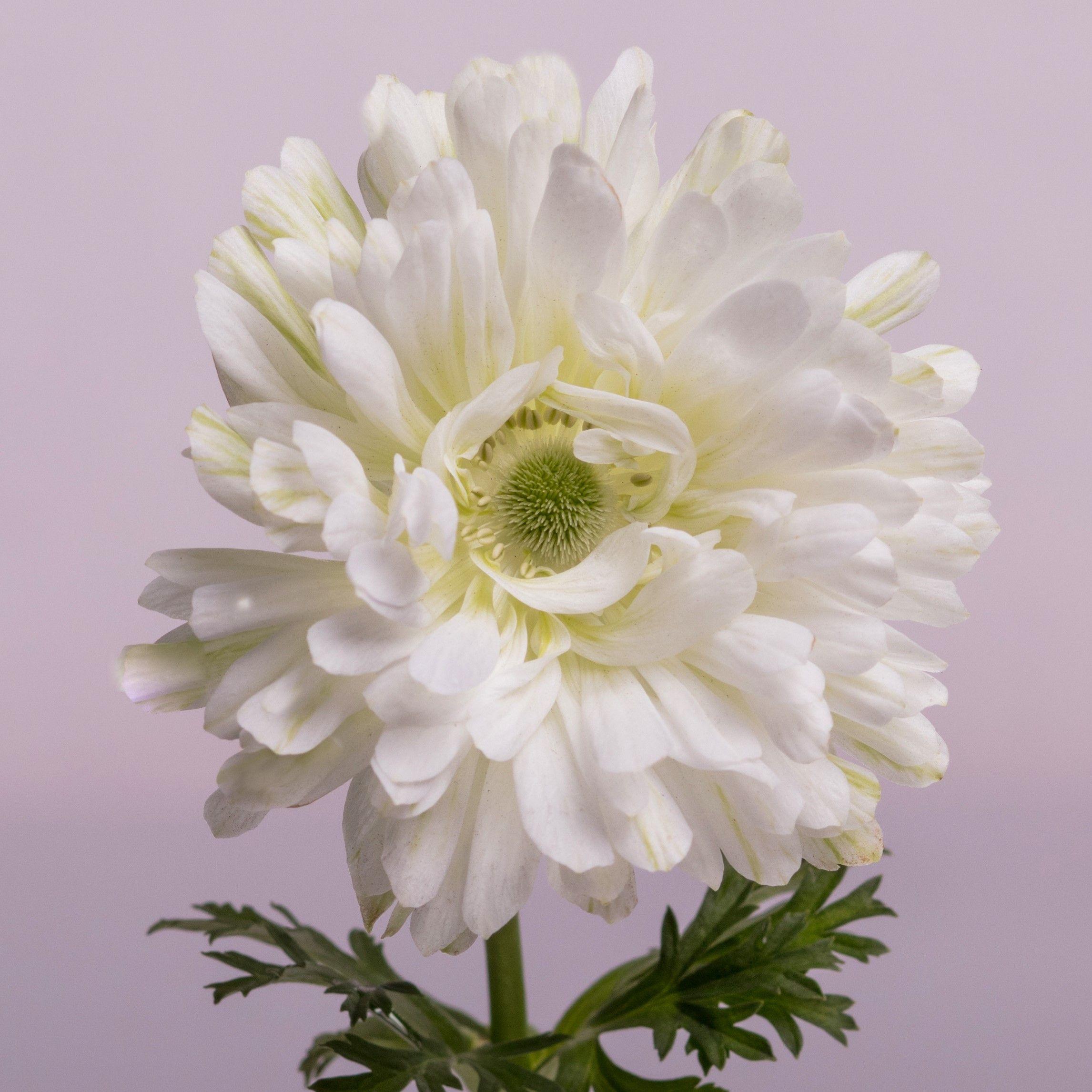 Anemone Full Star White