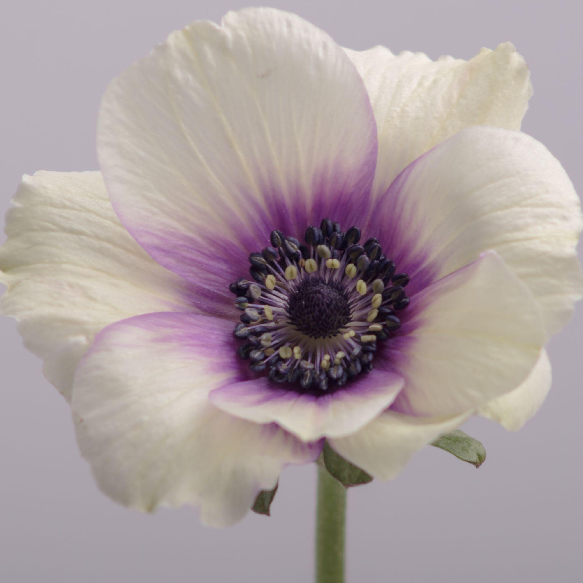Anemone Bicolor Viola