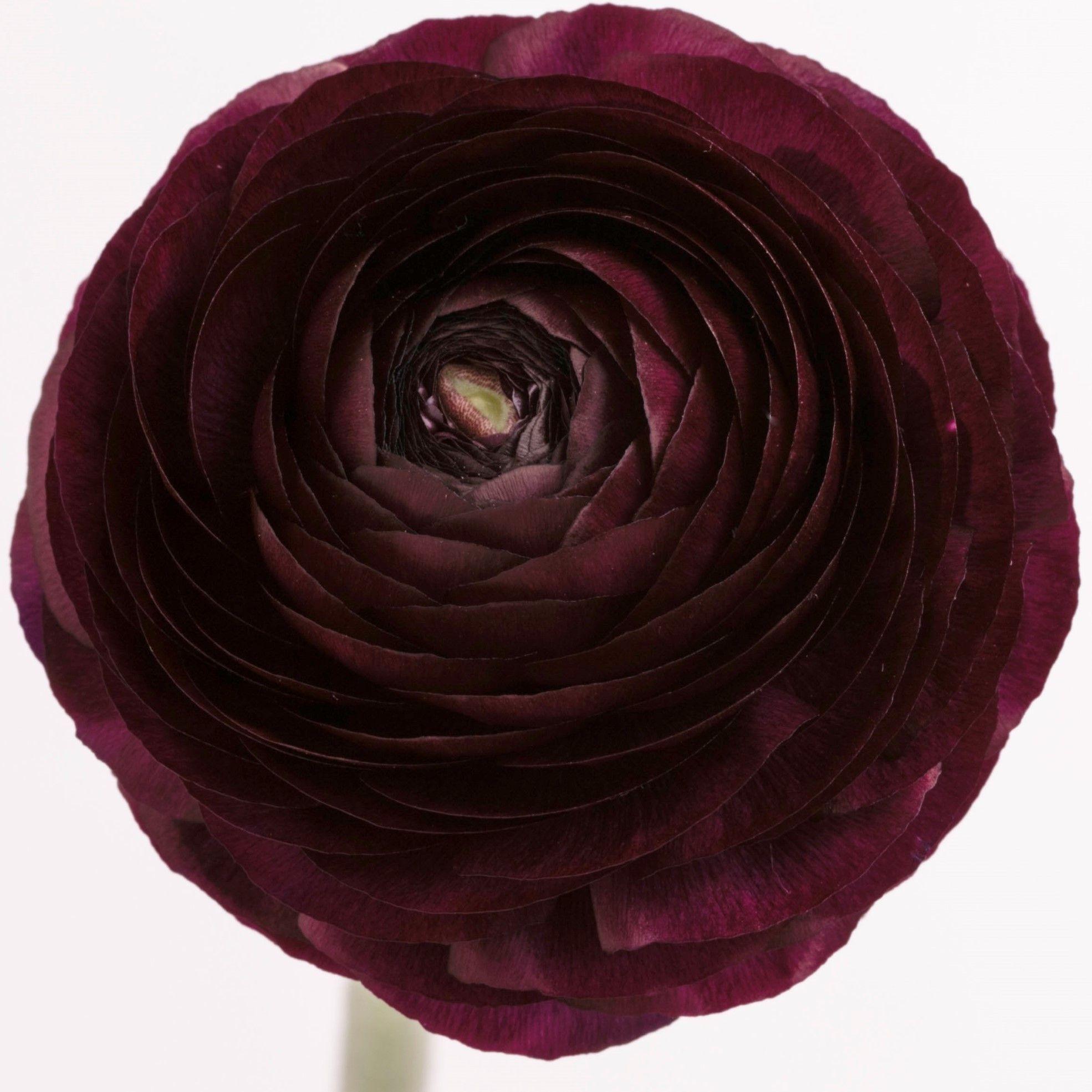 Ranunculus Burgundy