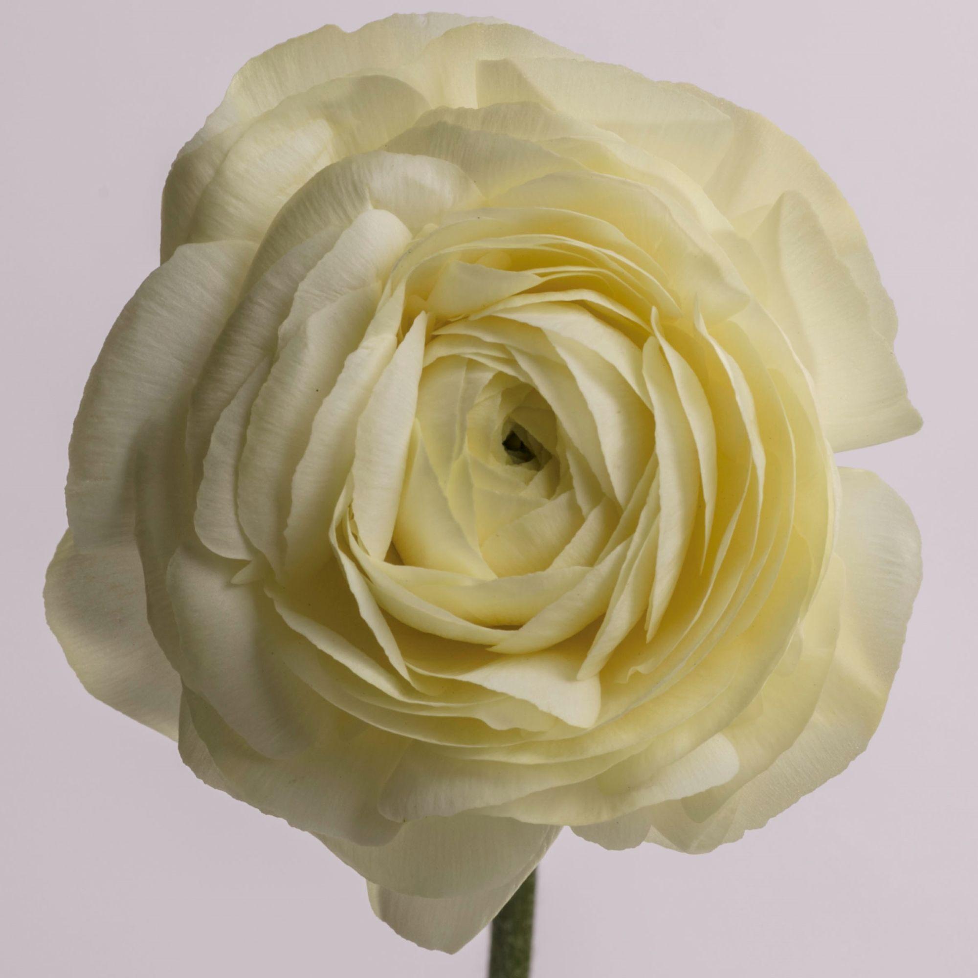 Ranunculus Cream