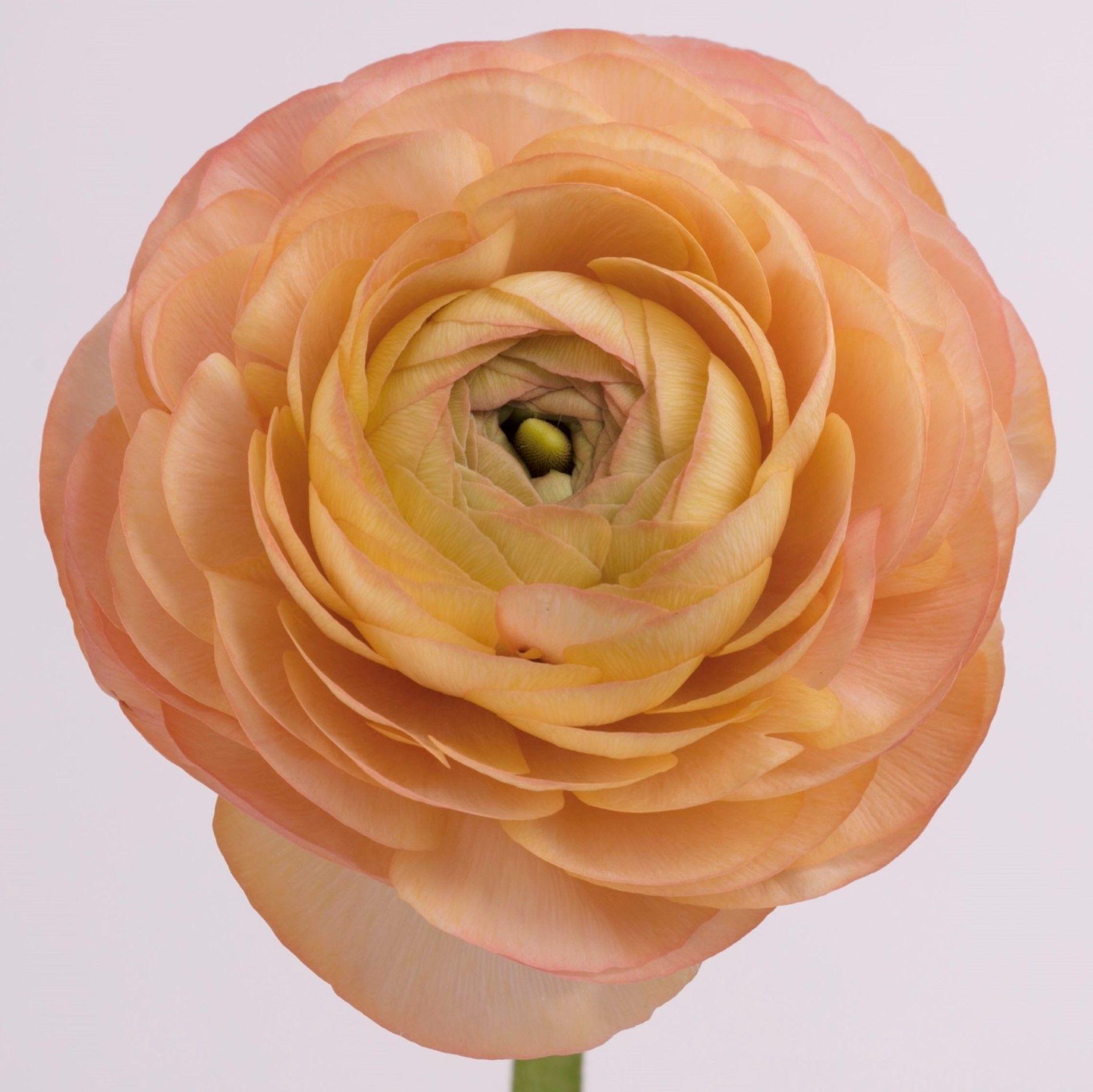 Ranunculus Peach